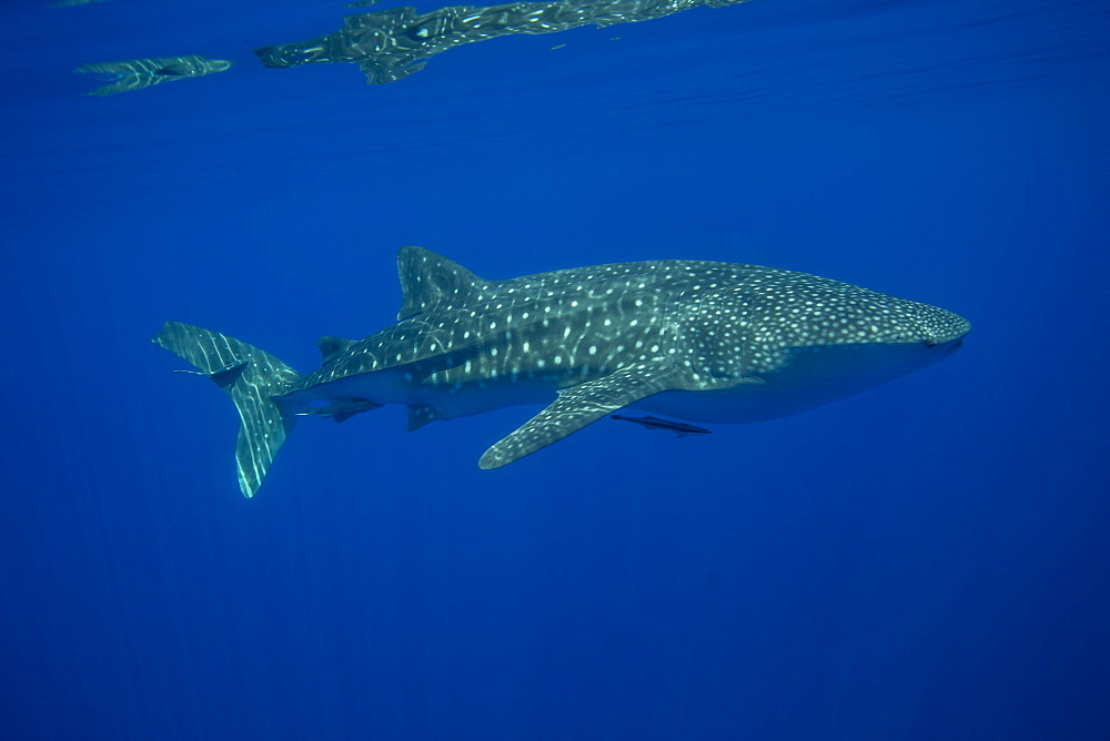 Whale shark (Rhincodon typus), Honda Bay, Palawan, The Philippines, Southeast Asia, Asia
