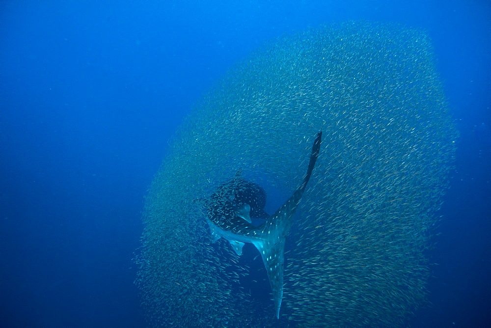 Whale shark ( Rhincodon typus ) surrounded by a shoal of fish evading predation, Honda Bay, Palawan, the Philippines. - 939-61