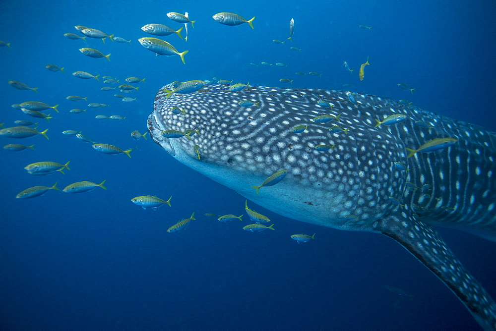 Whale shark (Rhincodon typus) with golden trevally (Gnathanodon speciosus), Honda Bay, Palawan, The Philippines, Southeast Asia, Asia