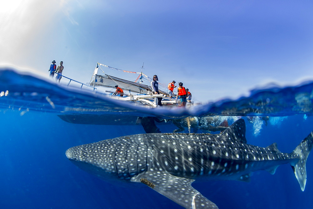 Whale shark ( Rhincodon typus ) below a banca boat in Honda Bay, Palawan, the Philippines. - 939-63