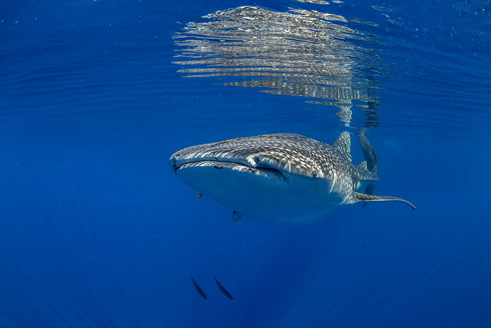 Whale shark (Rhincodon typus) swimming beneath the surface in Honda Bay, Palawan, The Philippines, Southeast Asia, Asia