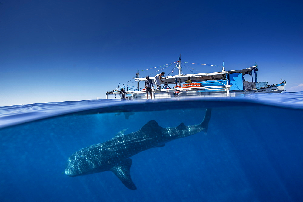 Whale shark ( Rhincodon typus ) beneath a banca boat in Honda Bay, Palawan, the Philippines. - 939-67