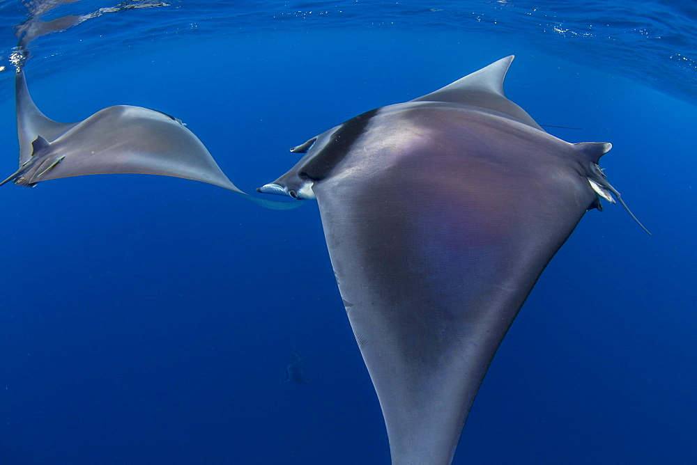 Spinetail devil rays ( Mobula mobular ) engaged in sexual courtship in Honda Bay, Palawan, the Philippines. - 939-69