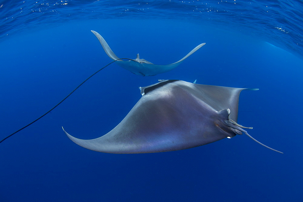 Spinetail devil rays ( Mobula mobular ) engaged in sexual courtship in Honda Bay, Palawan, the Philippines. - 939-70