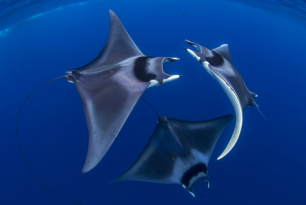 Spinetail devil rays ( Mobula mobular ) engaged in sexual courtship in Honda Bay, Palawan, the Philippines. - 939-71