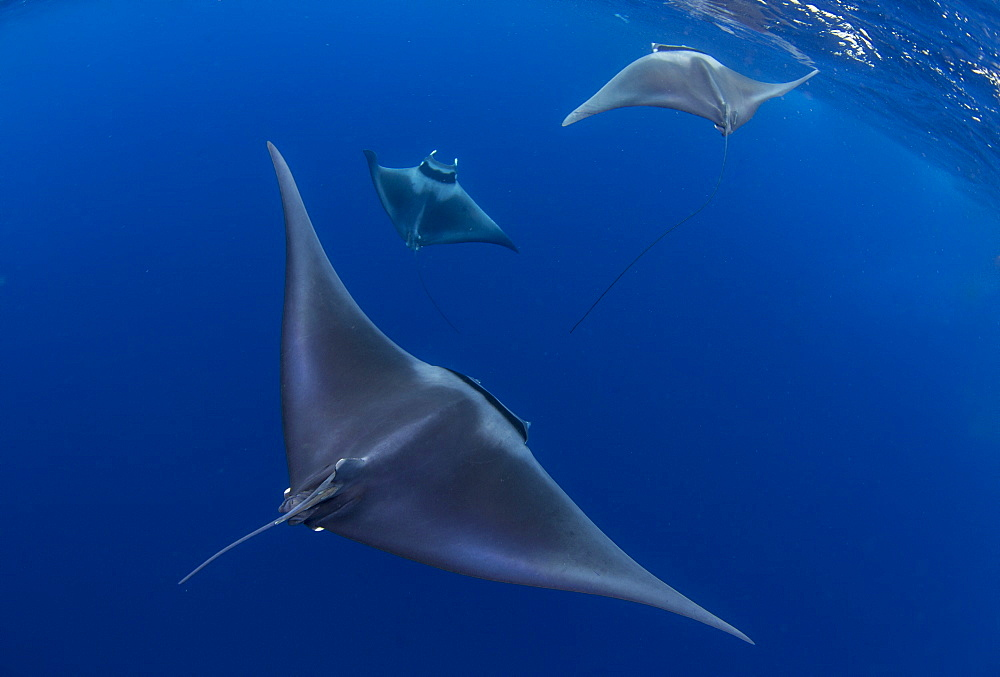 Spinetail devil rays ( Mobula mobular ) engaged in sexual courtship in Honda Bay, Palawan, the Philippines. - 939-72