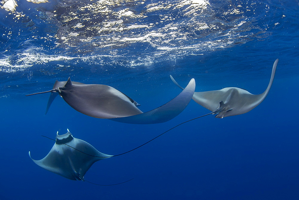 Spinetail devil rays ( Mobula mobular ) engaged in sexual courtship in Honda Bay, Palawan, the Philippines. - 939-73
