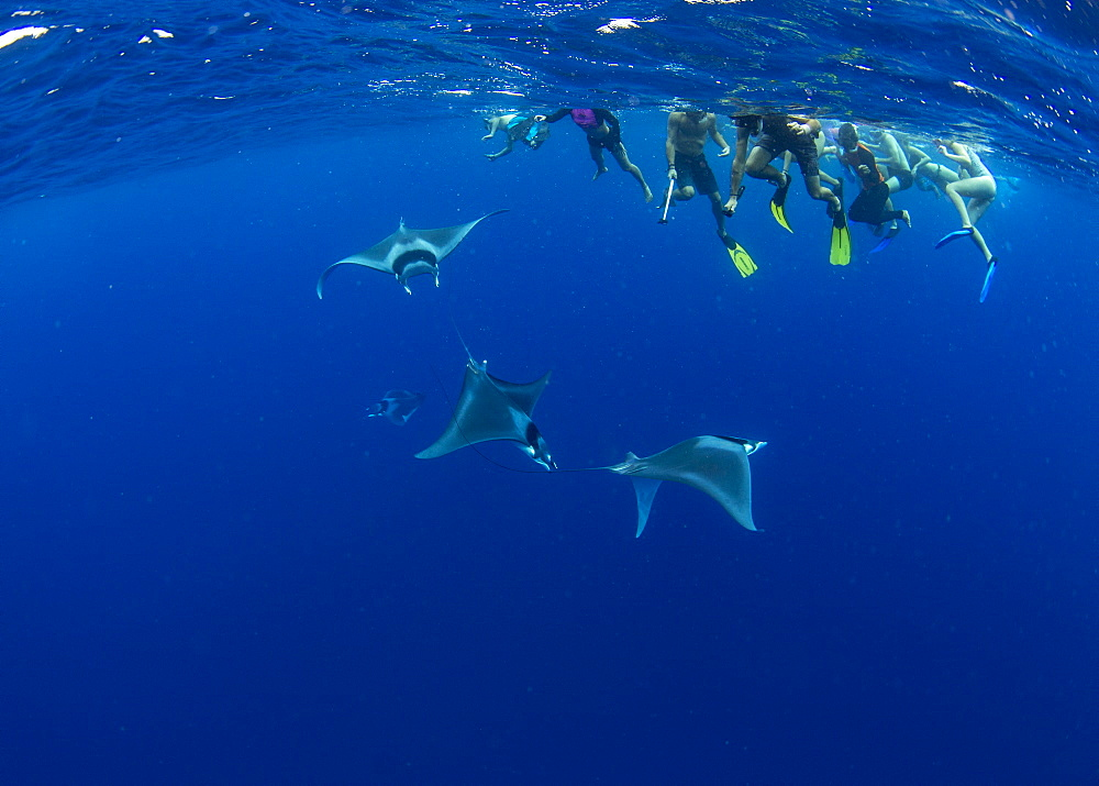 Snorkellers observing spinetail devil rays ( Mobula mobular ) engaged in sexual courtship in Honda Bay, Palawan, the Philippines. - 939-75