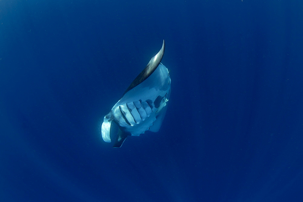 Oceanic manta ray ( Manta birostris ) feeding near the surface, Honda Bay, Palawan, the Philippines. - 939-78