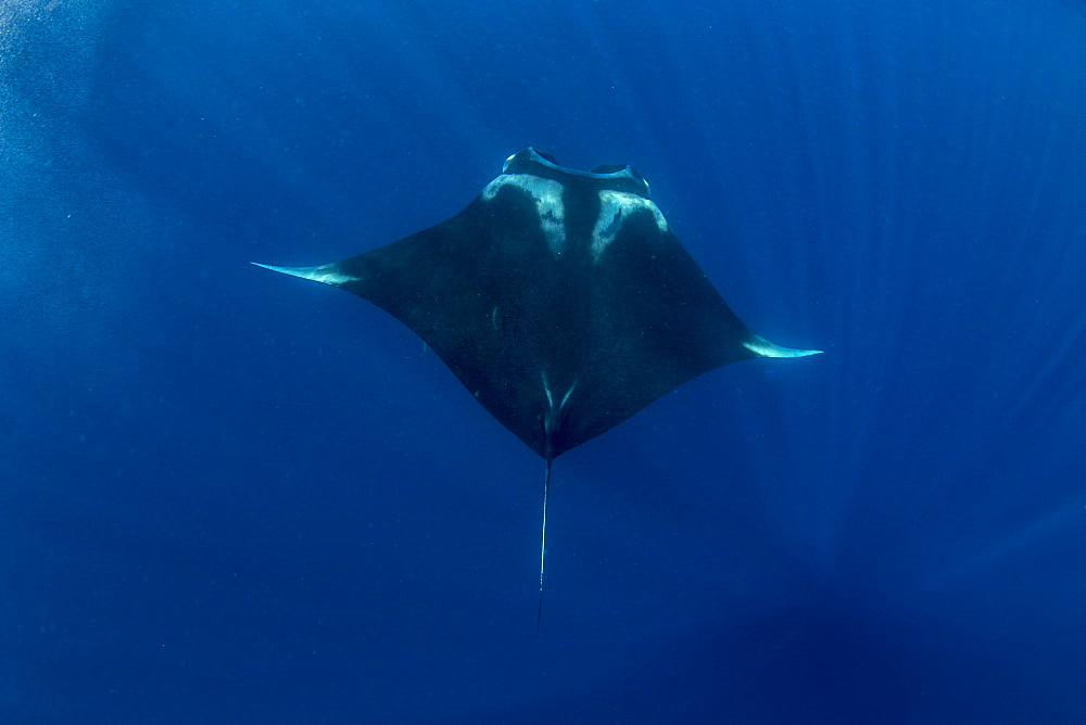 Oceanic manta ray ( Manta birostris ) feeding near the surface, Honda Bay, Palawan, the Philippines.