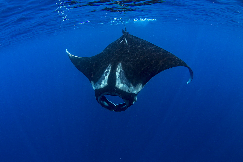 Oceanic manta ray (Manta birostris) feeding near the surface, Honda Bay, Palawan, The Philippines, Southeast Asia, Asia