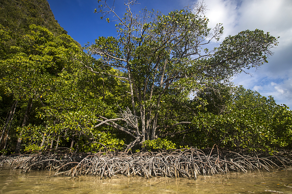 Mangroves in Wayag Island, Raja Ampat, West Papua, Indonesia