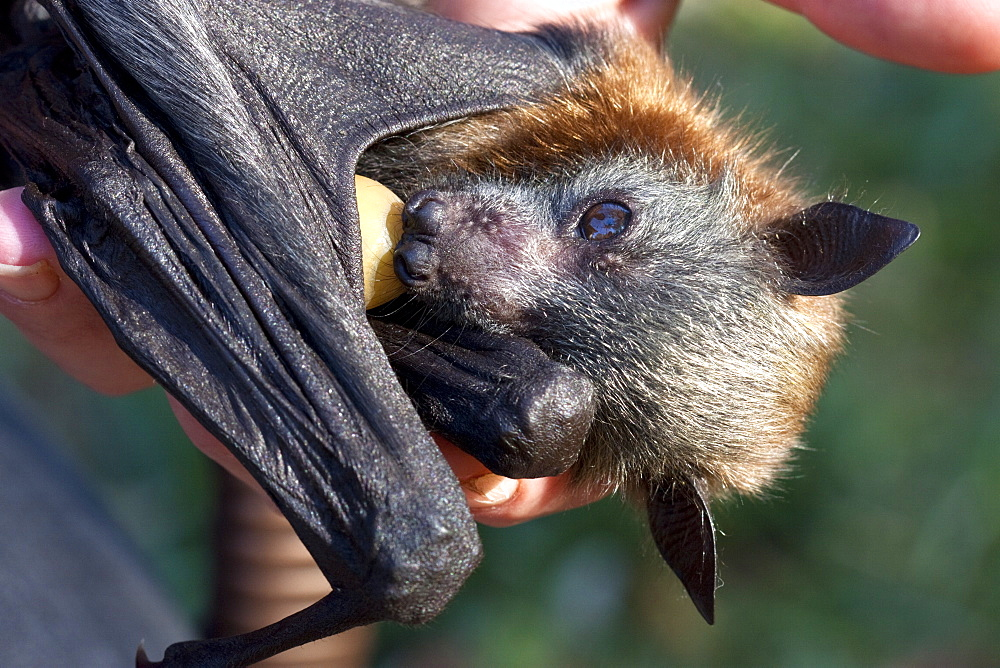 Baby grey-headed flying-fox (Pteropus poliocephalus) with dummy, Hopkins Creek, New South Wales, Australia, Pacific