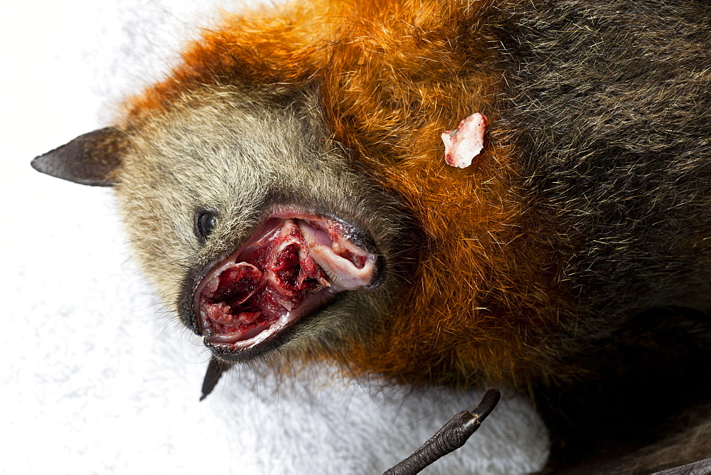 Euthanased female grey headed flying-fox (Pteropus poliocephalus) with self mutilation injuries, Midginbil, New South Wales, Australia, Pacific