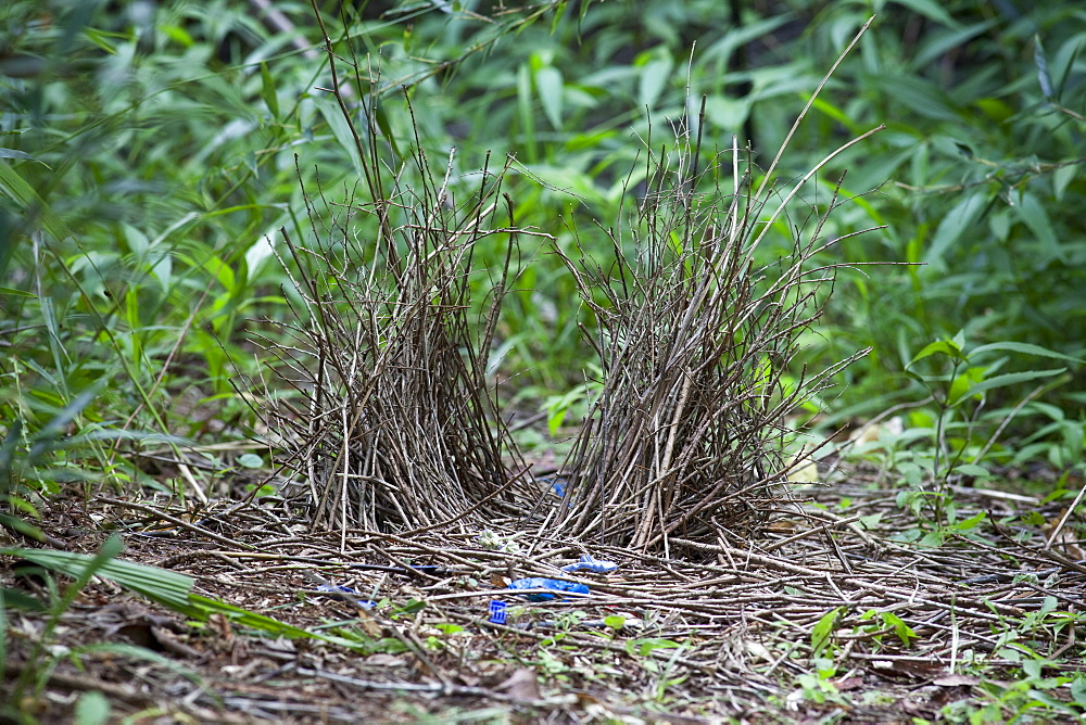 Bower of immature male satin bowerbird (Ptilonorhynchus violaceus), Hopkins Creek, New South Wales, Australia, Pacific