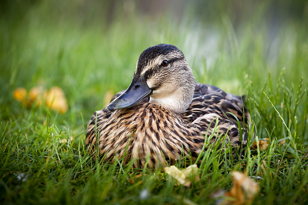 Female mallard (Anas platyrhynchos) resting on grass, Penn Common, Penn, Buckinghamshire, England, United Kingdom, Europe