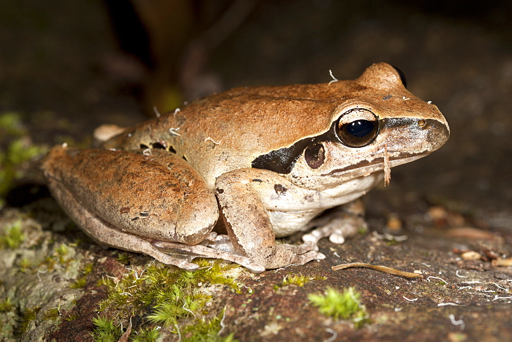 Adult Lesueur's frog (Litoria lesueuri) on rock, Hopkins Creek, New South Wales, Australia, Pacific