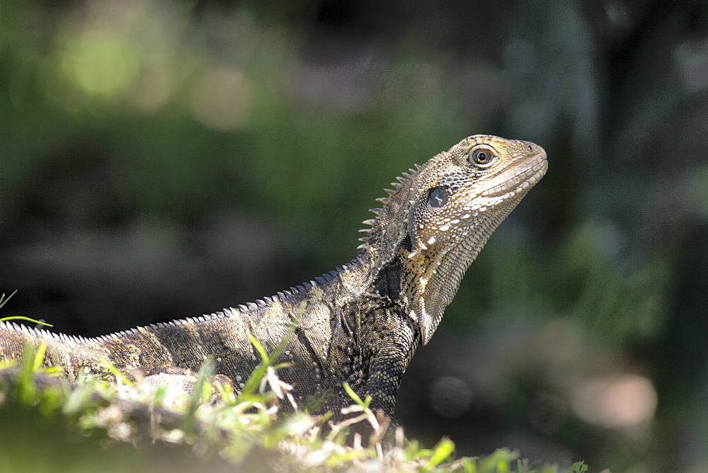 Eastern water dragon (Physignathus lesuerii), Murwillumbah, New South Wales, Australia, Pacific