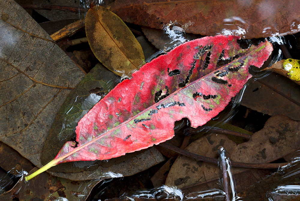 Fallen red leaf on water, Hopkins Creek, New South Wales, Australia, Pacific