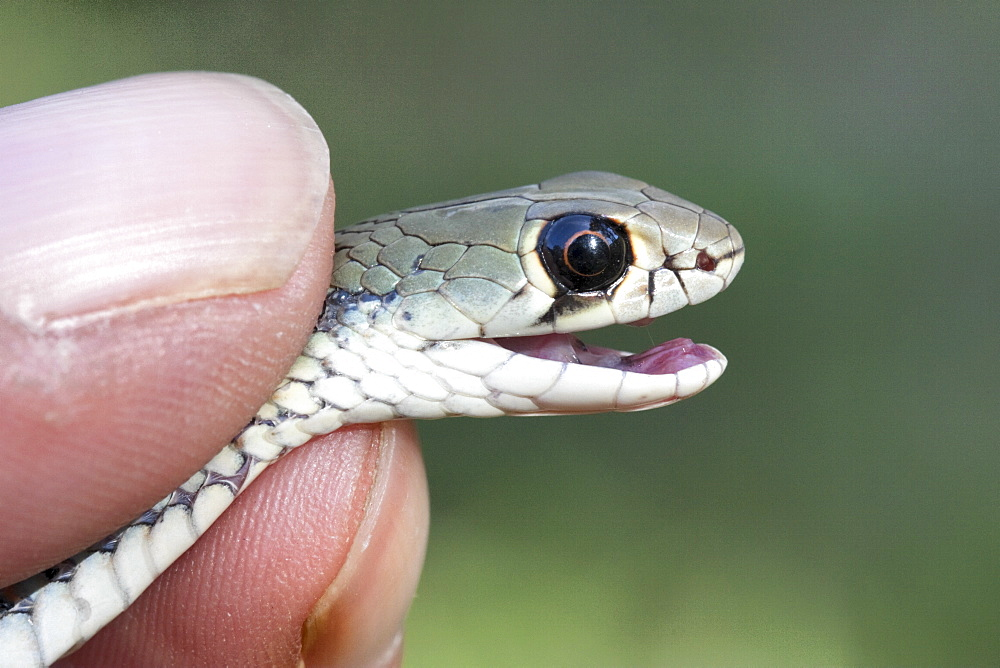 Yellow-faced whipsnake (Demansia psammophis) being handled, Hopkins Creek, New South Wales, Australia, Pacific