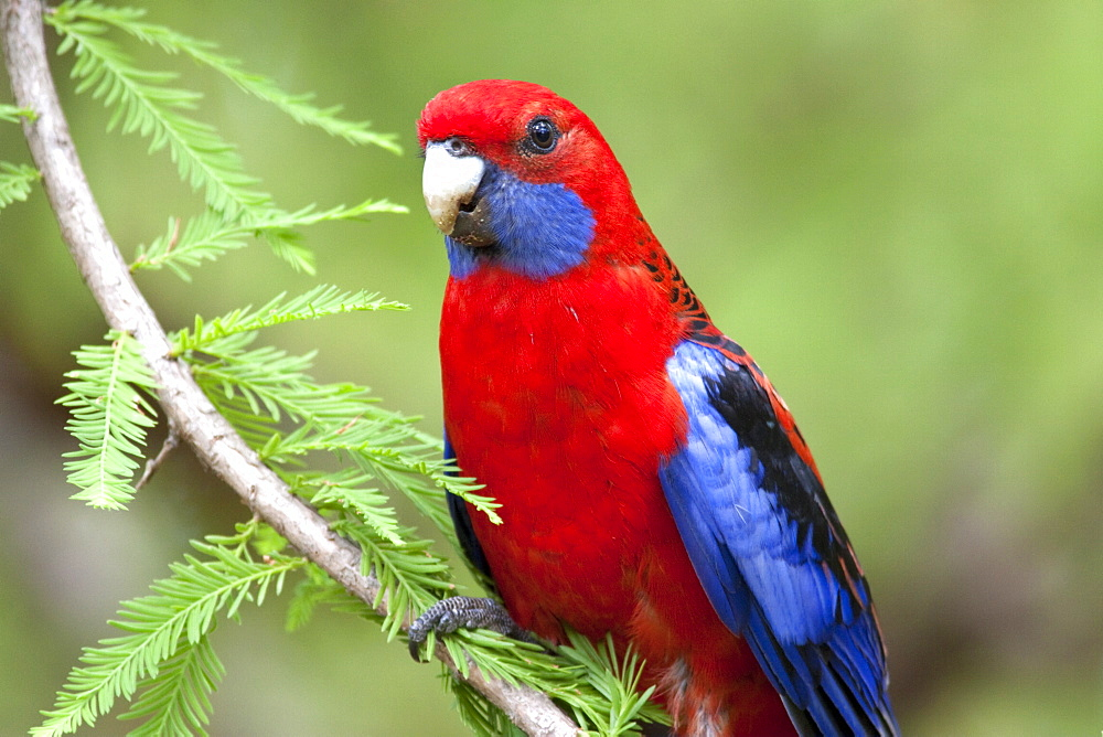 Crimson rosella (Platycercus elegans) perching on branch., Hopkins Creek, New South Wales, Australia, Pacific
