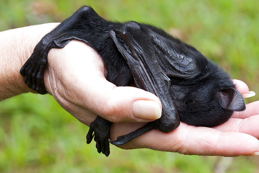 Orphaned baby black flying-fox (Pteropus alecto) approximately 4 weeks old, asleep in hand, Hopkins Creek, New South Wales, Australia, Pacific