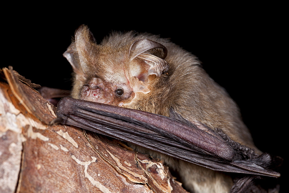 Female Gould's long-eared bat (Nyctophilus gouldi) on branch, Hopkins Creelk New South Wales, Australia, Pacific