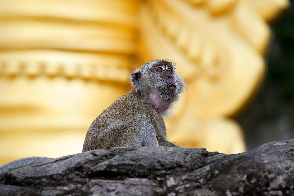 Crab-eating macaque (Macaca fascicularis) on rock, Batu Caves, Malaysia, Southeast Asia, Asia