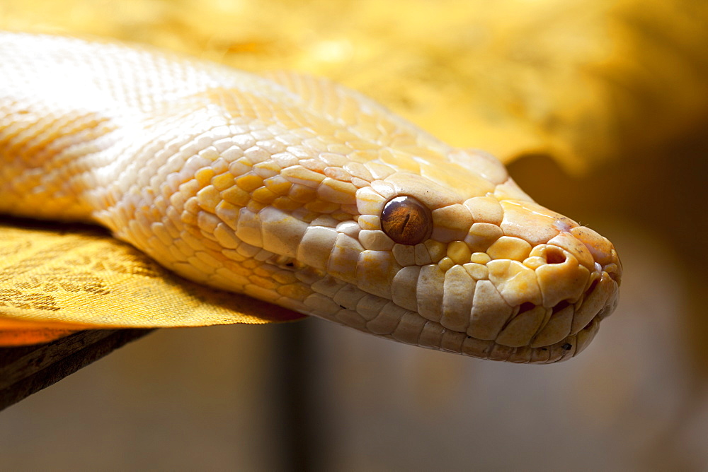 Albino Burmese python (Python molurus bivittatus), Batu Caves, Malaysia, Southeast Asia, Asia