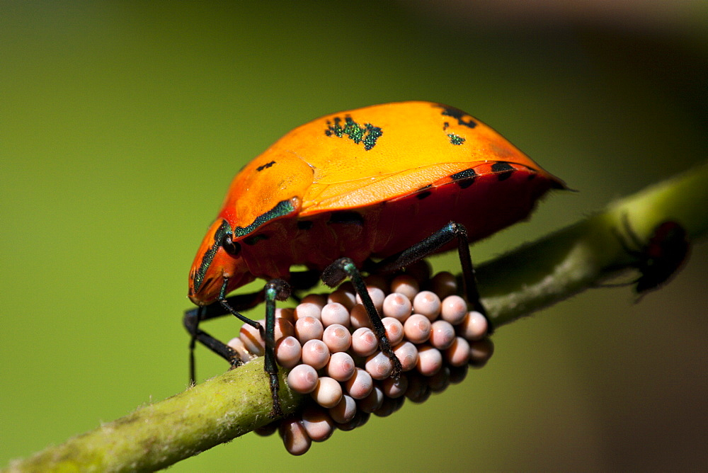 Female cotton harlequin bug (Tectocoris diophthalmus) guarding her eggs on Coastal Hibiscus, Fingal Heads, New South Wales, Australia, Pacific
