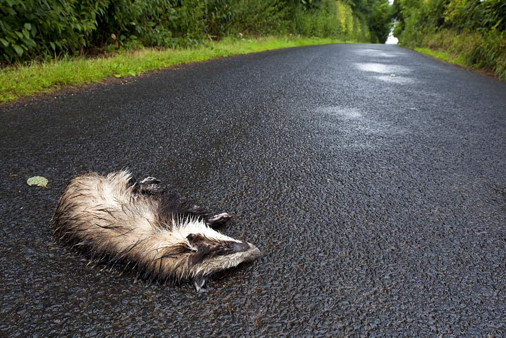European badger (Meles meles) dead on road in rain, victim of motor vehicle collision, Jedburgh, Scottish Borders, Scotland, United Kingdom, Europe
