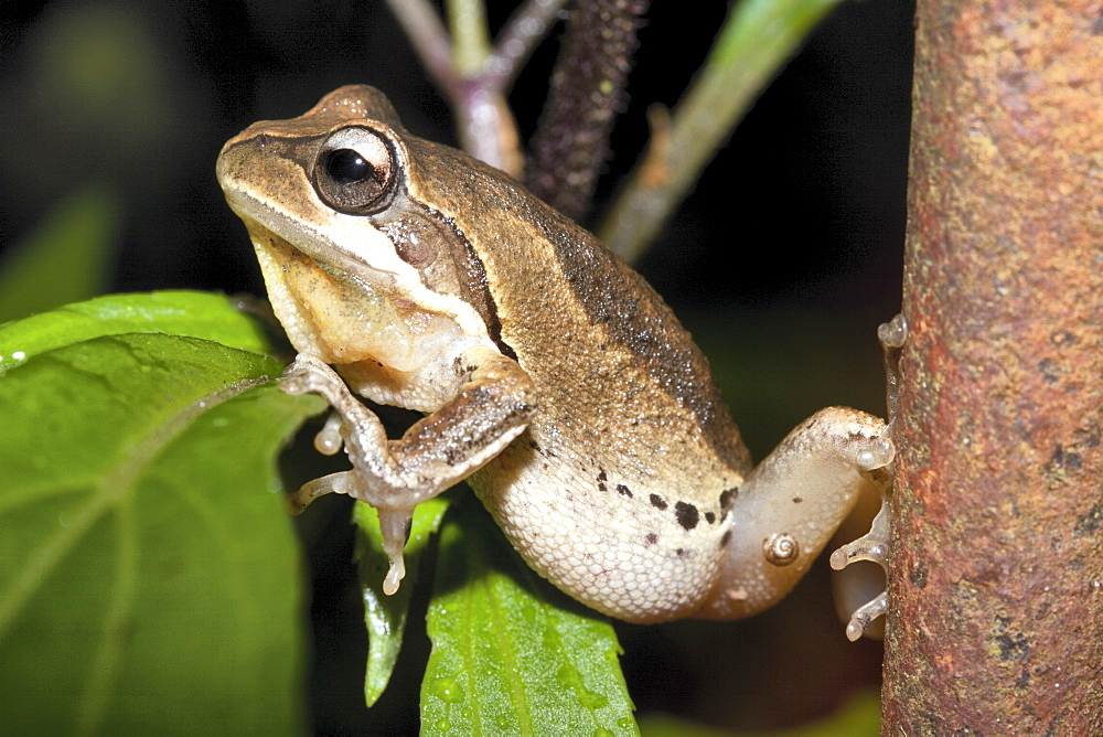 Bleating tree frog (Litoria dentata), Hopkins Creek, New South Wales, Australia, Pacific