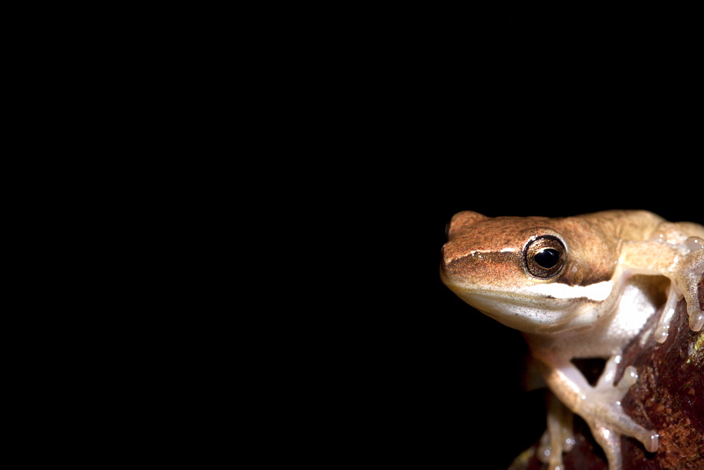 Juvenile bleating tree frog (Litoria dentata), Hopkins Creek, New South Wales, Australia, Pacific