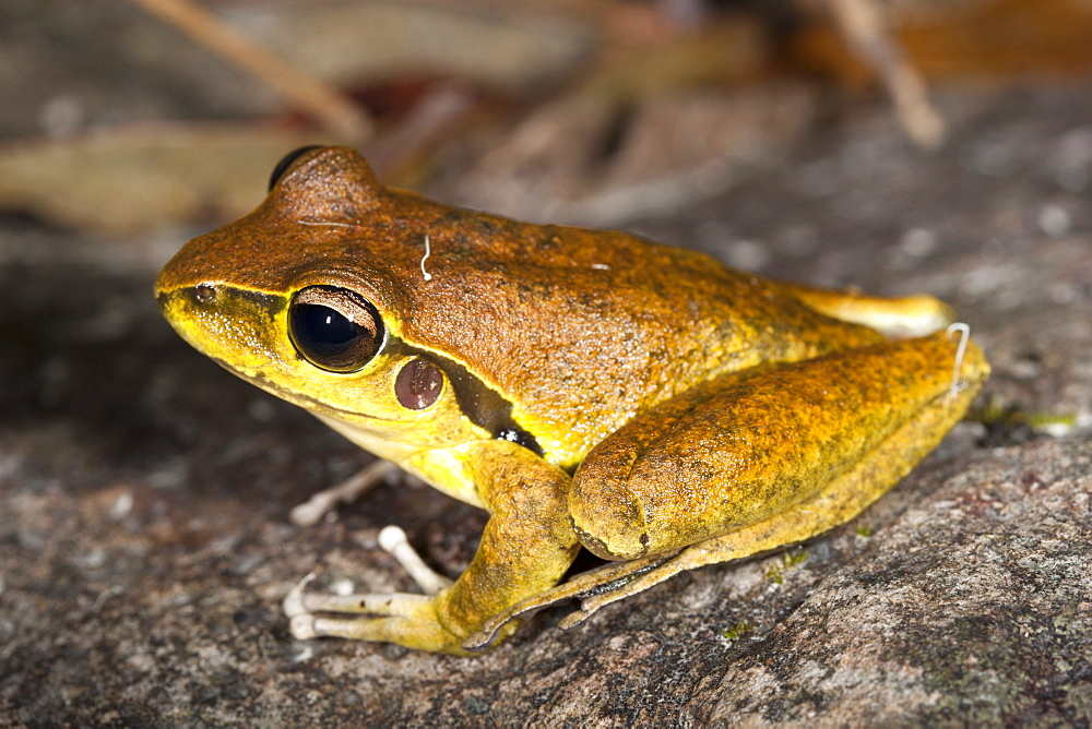 Juvenile Lesueur's frog (Litoria lesueuri) on rock, Hopkins Creek, New South Wales, Australia, Pacific