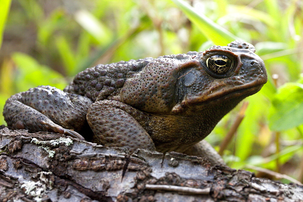 Adult cane toad (Bufo marinus) on fallen log with prominent parotoid gland visible, Hopkins Creek, New South Wales, Australia, Pacific