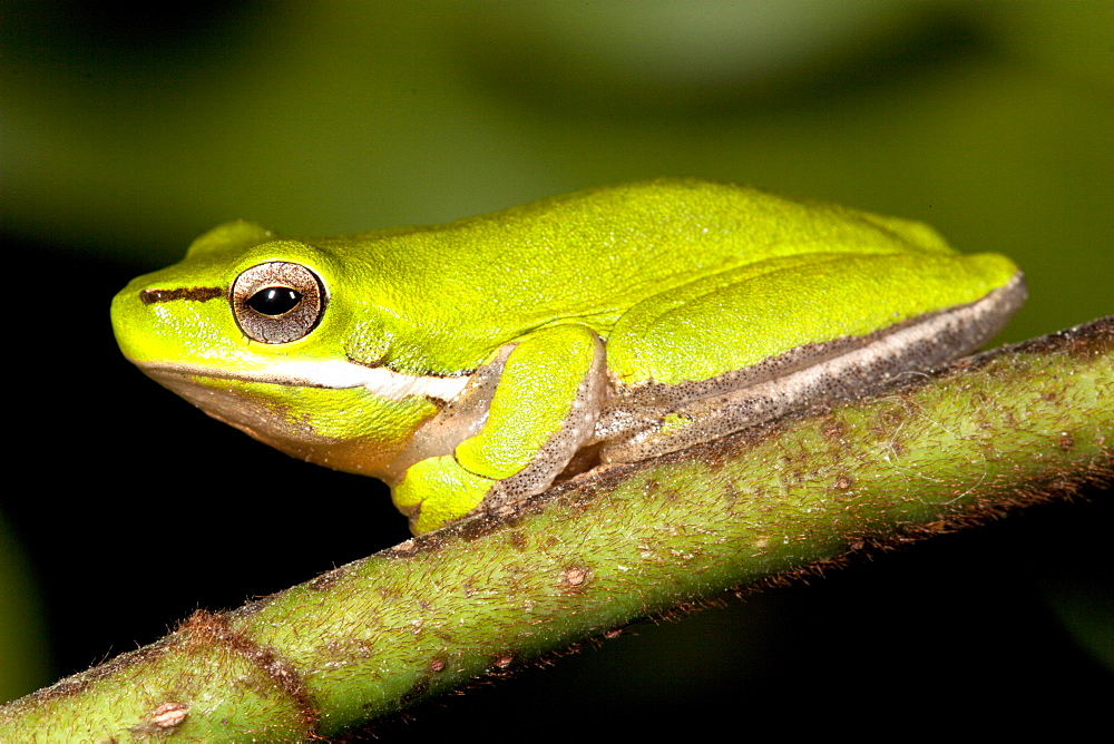 Adult dwarf tree frog (Litoria fallax) on branch, Hopkins Creek, New South Wales, Australia, Pacific