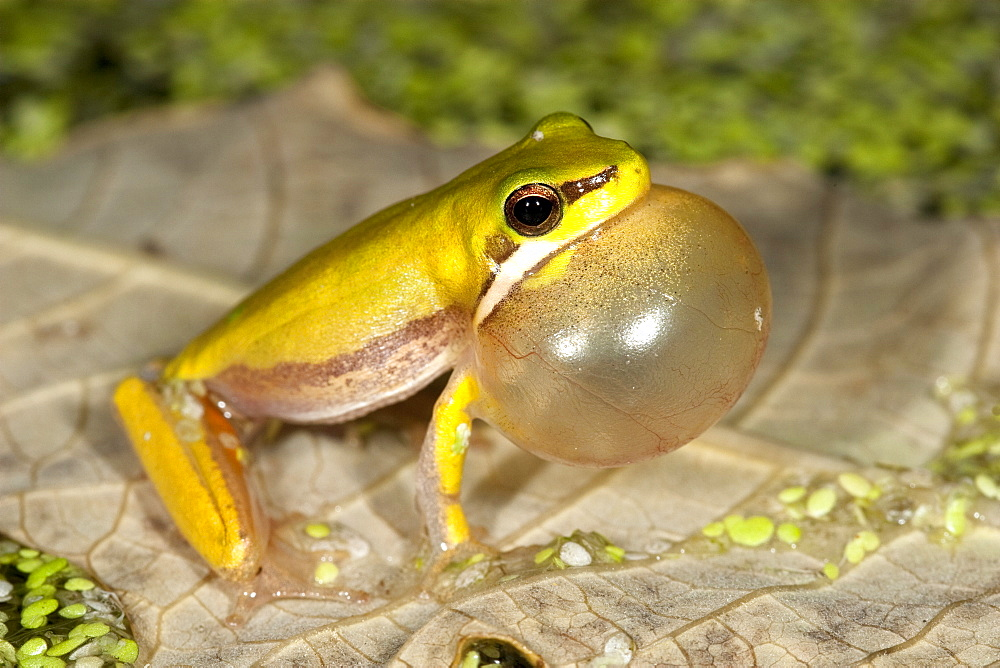 Adult dwarf tree frog (Litoria fallax) singing from floating leaf, Hopkins Creek, New South Wales, Australia, Pacific