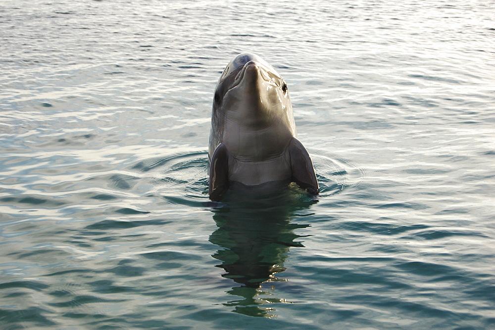 Bottlenose dolphin (Tursiops truncatus) in a sea pen. Red Sea. Captive - 945-1
