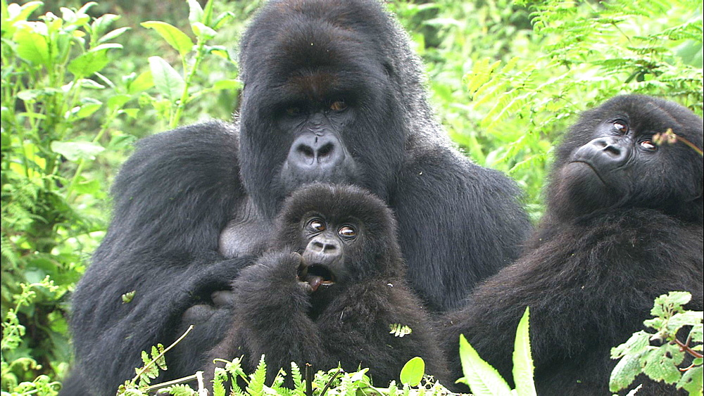 Mountain gorilla (Gorilla gorilla beringei). Endangered. Adult male with family group. Rwanda. 2009