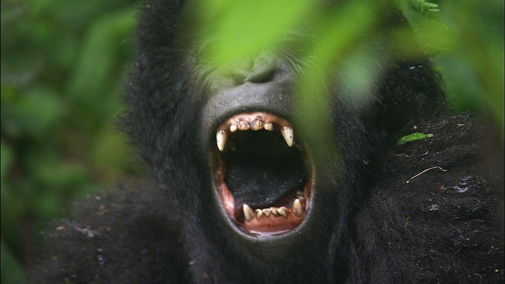 Mountain gorilla (Gorilla gorilla beringei). Endangered. Juvenile yawns. Rwanda. 2009 - 945-161