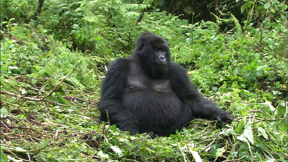 Mountain gorilla (Gorilla gorilla beringei). Endangered. Juvenile threat display in front of adult female. Rwanda. 2009