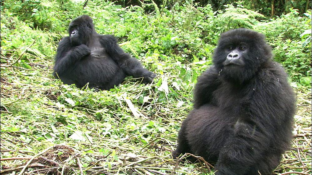 Mountain gorilla (Gorilla gorilla beringei). Endangered. Juvenile and adult female. Rwanda. 2009