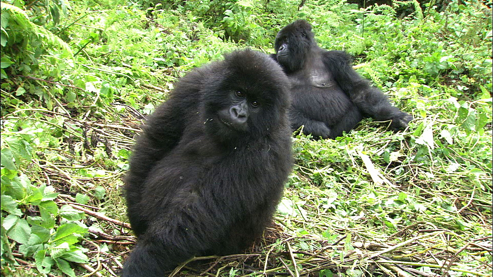 Mountain gorilla (Gorilla gorilla beringei). Endangered. Juvenile and adult female. Rwanda. 2009
