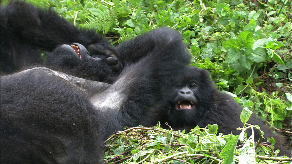 Mountain gorilla (Gorilla gorilla beringei). Endangered. Juvenile and adult female playfight. Rwanda. 2009