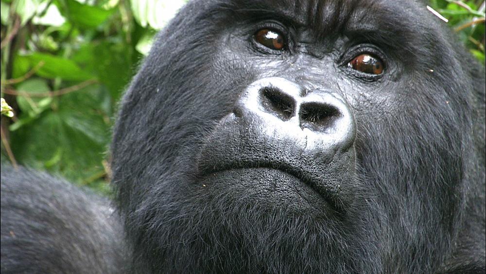 Mountain gorilla (Gorilla gorilla beringei). Endangered. Adult male. Rwanda. 2009