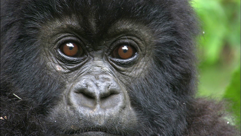 Mountain gorilla (Gorilla gorilla beringei). Endangered. Portait of baby. Rwanda. 2009