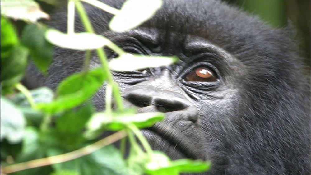 Mountain gorilla (Gorilla gorilla beringei). Endangered. Juvenile feeds. Rwanda. 2009