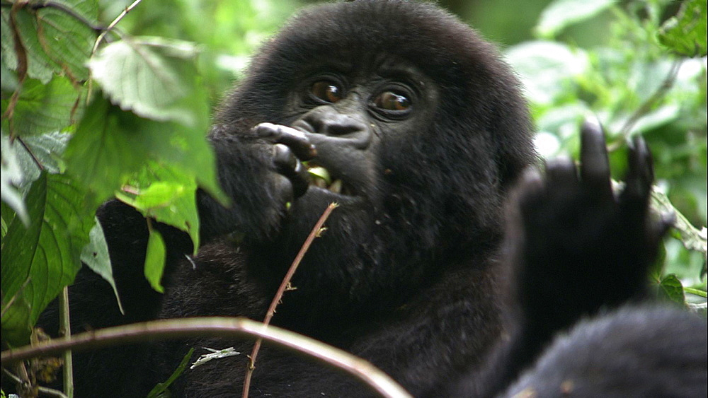 Mountain gorilla (Gorilla gorilla beringei). Endangered. Youngster feeds on thick grass stem. Rwanda. 2009
