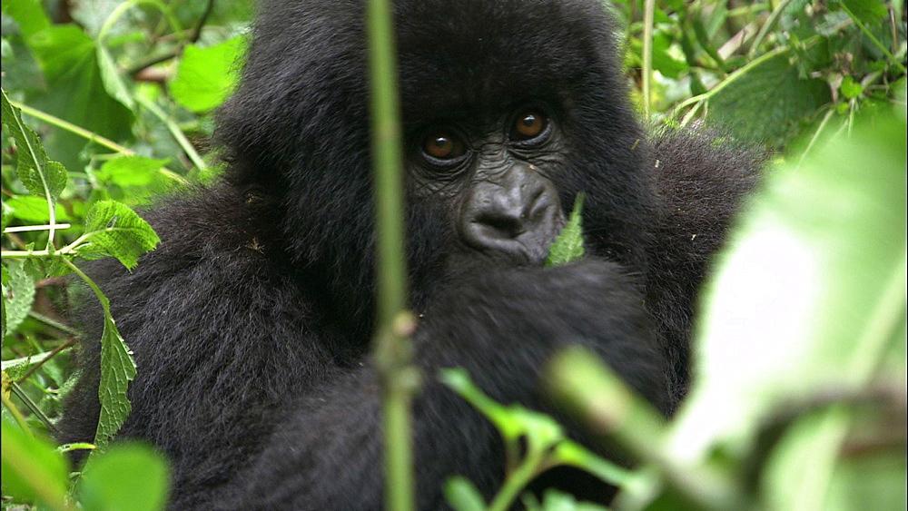 Mountain gorilla (Gorilla gorilla beringei). Endangered. Juvenile feeding. Rwanda. 2009