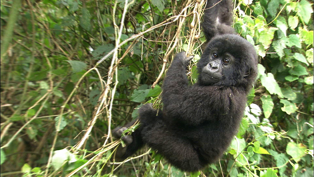 Mountain gorilla (Gorilla gorilla beringei). Endangered.  Youngster hanging from vegetation. Rwanda. 2009